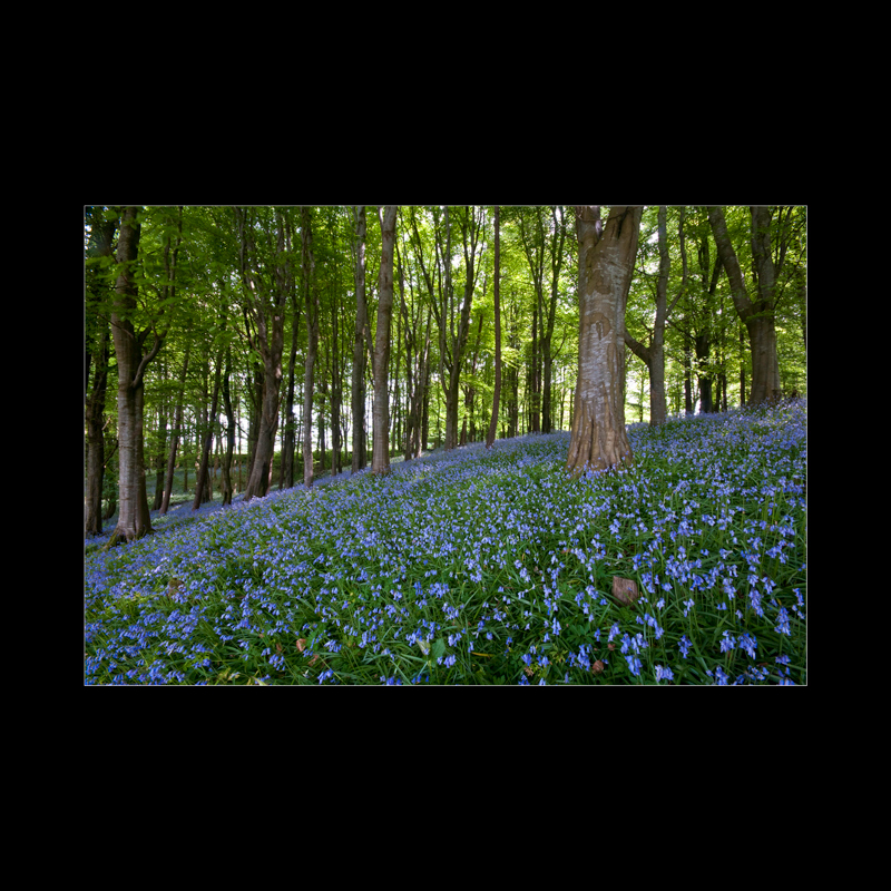 Bluebells,Portglenone-Northern-Ireland-Landscape-Photography