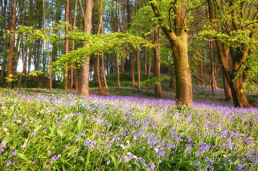 Portglenone-Bluebells-Northern-Ireland-Landscape-Photography-