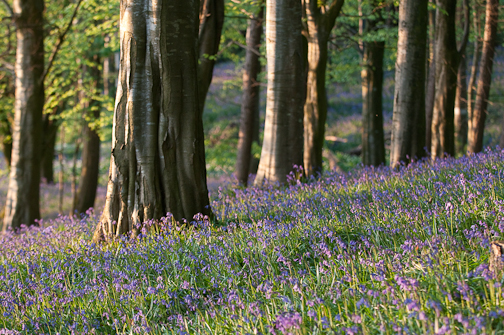 Portglenone-Bluebells-Northern-Ireland-Landscape-Photography-9847